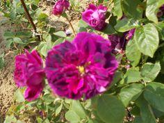 Újdonság: Rózsák a kertemből 4. - Geschwind, bourbon és portland, hibrid perpetual, http://kertinfo.hu/rozsak-a-kertembol-4-geschwind-bourbon-es-portland-hibrid-perpetual/, ezekben a témakörökben:  #Ajándék #Díszkert #Díszkertinövény #Gyümölcs #Képek #Kert #Konyhakert #Mag #Metszés #Növény #Rózsa #Tanácsésötlet #Tavaszi #Téli #Vetőmag #Virág, írta: Blog Nellikert