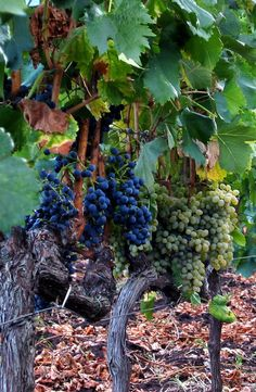 Vines 102: Sicily Wine. The white wines and other varietals Sicily has to offer.   http://www.butterfield.com/blog/2014/06/04/vines-102-sicily-wine/  #travel #wine #guide #Sicily #Italy #holiday #vacation #trip #myBNR