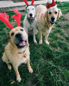 A letter from Stella to Santa (Stella in the front Holly and Hank in the back)  Dear Santa Paws  I wrote to you a few months ago and asked you for a home for Christmas. And guess what... I got one. But I forgot to write 'forever'. So I don't have a forever home yet. And I wondered if it was too late for a Christmas wish?  When I was younger I was dumped at the pound. I guess I wasn't with the right family. I thought I was a good girl I liked giving kisses and I know my name and I did what i…