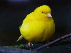 Paffuto #canarino giallo (Serinus canaria)