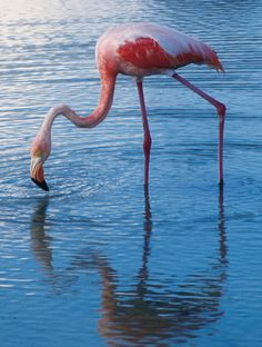Flamingo, Galapagos Islands, Ecuador #LIFECommunity #Favorites From Pin Board #SA-ECUADOR #ViventuraPinYourWaytoSouthAmerica