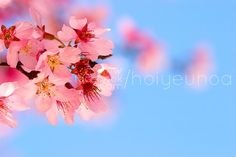 cherry blossom 10 Most Beautiful Flowers In The World