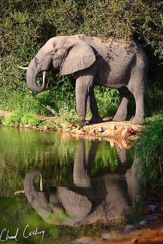 Elephant  | Chad Cocking