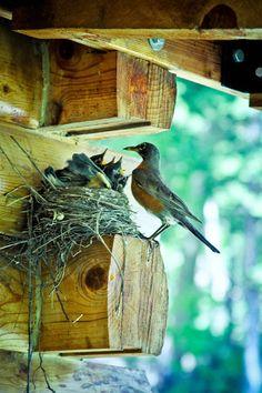 barnyard robins... hungry chicks!!