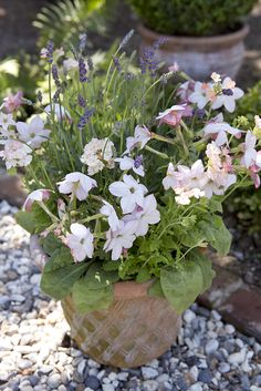 Pot for June colour: Lavender, Nicotiana 'Apple Blossom' and Verbena 'Peaches n Cream'. This pot is great for pollinating insects and smells as good as it looks. Find more wildlife friendly container ideas at: http://www.gardenersworld.com/how-to/projects/wildlife-gardening/how-to-make-a-nectar-rich-container-display/203.html Photo: Sarah Cuttle