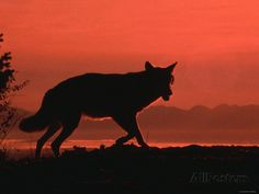 Silhouette of Wolf While Walking Through Field at Sunset ...