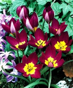 "Species Tulip ""Humilis Persian Pearl"""