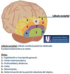Ilustracion Neurociencias: Lóbulo occipital - Asociación Educar Ciencias y Neurociencias aplicadas al Desarrollo Humano  www.asociacioneducar.com