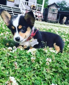 Meet Gumbo. The most photogenic Corgi puppy on the bayou.https://ift.tt/2IZ3yOK