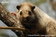 Dinagat bushy-tailed cloud rat, Dinagat crateromys or Dinagat cloud rat (Crateromys australis) Mouse Deer, Yoga Health Benefits, Mindoro, Harvest Mouse, Leopard Cat, Nocturnal Animals, Gerbil, Animal Species, Palawan