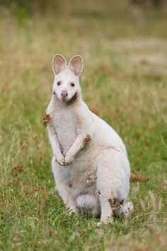White Red-Necked Wallaby