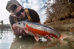 Not to everyone's liking but stunning carp non the less. Fly Fishing Boats, Fly Fishing Tackle, Fly Fishing Lures, Carp Fishing, Fishing Reels, Koi Carp, Fishing Outfits, Planted Aquarium, Trout