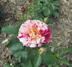 Flower in van deer park - davenport, ia