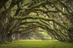 Picture of Oaks Avenue Charleston SC plantation Live Oak trees forest landscape in ACE Basin South Carolina lowcountry stock photo, images and stock photography. Forest Fairy, Tree Forest, Carolina Do Sul, Beautiful World, Beautiful Places, Beautiful Live, Parks, Tree Tunnel, Live Oak Trees