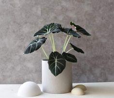 Alocasia Black Velvet - YAMAYAMA - plante d'intérieur