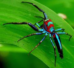 probably Chrysilla lauta - Elegant jumping spider