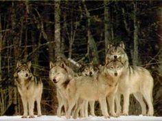 lobos en manada