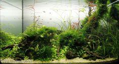 2011 AGA Aquascaping Contest - Entry #204