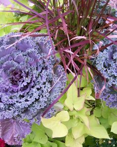 Three Dogs in a Garden: An Alternative to Fall Mums: Beautiful Ornamental Cabbages and Kale
