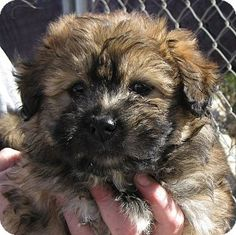 Wheaton terrier!!! It's Bear all the way.....now I'm sure of Gracie's breed.