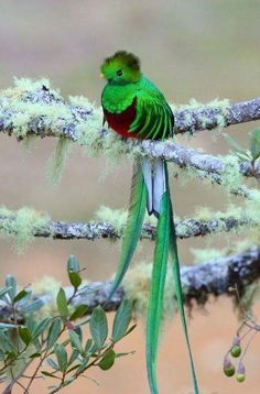 El Quetzal (ave nacional de Guatemala) #Beautiful - Edilma Angel - Google+