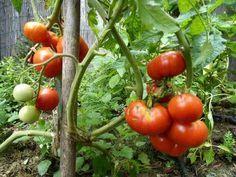 Mnoho ľudí vo svojich záhradkách nepoužíva žiadne chemické hnojivá. Vďaka tomu máme síce jabĺčka a mrkvu, ktoré nie sú dokonalé, no aspoň vieme, že sú 100-krát zdravšie. Nie sú však pesticídy ako pesticídy. Tie domáce a prírodné hnojivá sú v poriadku, hlavne ak si ich vyrobíte sami a teda presne viete, čím rastlinky hnojíte. Efekt …