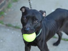 SAFE 5/29/2015 --- SUPER URGENT Brooklyn Center CHOCHO TRAIN – A1034990 POSSIBLY PREGNANT, CHOCOLATE, PIT BULL MIX, 1 yr STRAY – STRAY WAIT, NO HOLD Reason STRAY Intake condition EXAM REQ Intake Date 05/02/2015