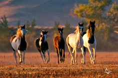 Nevadas Wild Mustangs XI by eaross.deviantart.com on @deviantART