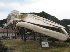 くじらの博物館に展示されている、シロナガスクジラの骨格模型。初めて見ると、あまりの大きさにビックリします。