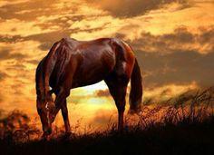 Wild Sorrel Mustang Grazing at Sunset.