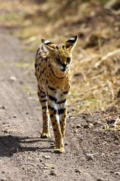 Serval is a strong yet slender animal, with long legs and a fairly short tail. Due to its leg length, it is relatively one of the tallest cats. The head is small in relation to the body, and the tall, oval ears are set close together.