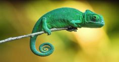50 Examples of Animal Photography - My Reptiles World 2019 Chameleon Care, Veiled Chameleon, Chameleon Lizard, Chameleon Facts, Chameleon Tattoo, Animals And Pets, Baby Animals, Cute Animals, Green Animals