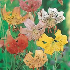 Tiger Lily Offer Green Flowers, Colorful Flowers, Old Things, Bloom, Plants, Pink, Flowers, Plant, Pink Hair