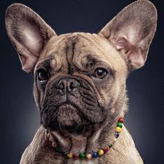 french bulldog puppy portrait por linsensuppe - fotografie en Fivehundredpx
