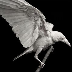 """faerypotter: """" This is a photo of Pearl, a rare albino raven who was murdered. Photo by Devlin Gandy """" Beautiful Birds, Animals Beautiful, Beautiful Pictures, Animals And Pets, Cute Animals, Wild Animals, Rare Albino Animals, Quoth The Raven, Jackdaw"""