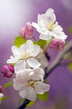 I love apple blossoms!!  ...And cherry blossoms, and peach blossoms, and apricots blossoms.
