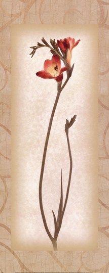 Blossom IV Freesia
