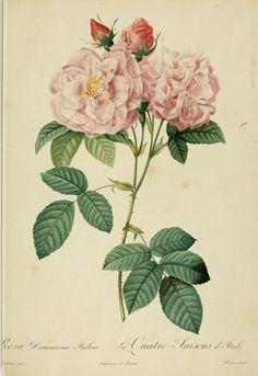 Rosa Damascena Italica. Plate from 'Les Roses' (1824) by P. J. RedouteCalifornia State Libraryarchive.org
