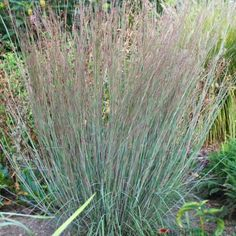 Little Bluestem Blue Heaven is a new native   Ornamental Grass   with foliage that turns briilliant red in the fall!   Blue Heaven Little Bluestem is a problem solving garden plant for so many areas! It tolerates  air pollution, black walnut trees, deer, erosion control.    It also takes on a wide range of soil conditions from  sand to clay  and  high heat & humidity  and is not bothered by any serious insect or disease problems.    Loved by northern & southern gardeners ! Th...