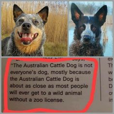 Aussie Cattle Dog, Austrailian Cattle Dog, I Love Dogs, Cute Dogs, Dog Rules, Service Dogs, Working Dogs, Dog Life, Dogs And Puppies