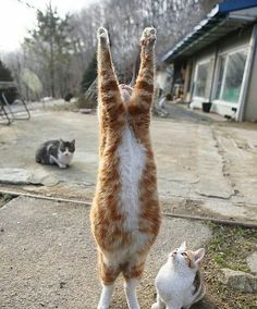 Yoga cat reaches for the sky.