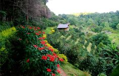 Coffee Plantation in Puerto Rico