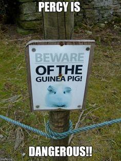 Percy the guinea pig