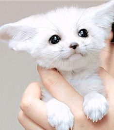 A Fenic fox is so cute I'm still researching how to get one!!