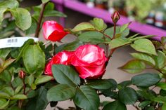 Best Quality Home Store And Garden Centre Cork, Ireland. We are also Ireland's only garden cen Rose Flowers, Summer Flowers, Hybrid Tea Roses, Colorful Garden, Creamy White, Cherry Red, Garden Furniture, Nostalgia, Fragrance