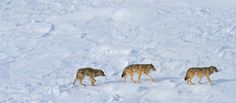 Isle Royale wolf population drops to 3  Arpil 18th - The report of the 57th annual winter study of wolves and moose on Isle Royale, conducted from January to March 2015, is now available online.Between January 2014 and January 2015, the population of wolves on  the island decreased from 9 individuals to 3, pictured above, the lowest  population since research began in 1959. The three wolves are living  in a single social group. The gender and pack origin of these wolves is  unknown. One…
