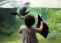 One of the African penguins at the National Aviary gets a close look at Elyana Wilson, 18 months, of Squirrel Hill and her stuffed penguin. The aviary was holding an African Penguin Awareness weekend to help bring awareness to the endangered penguin. Robin Rombach/Post-Gazette #Pittsburgh
