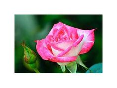 A Blushing rose for a blushing bride- Staalduinen Floral Wholesale
