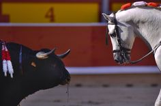 The Festival of San Fermin 2013 - In Focus - A horse belonging to Spanish mounted bullfighter Pablo Hermoso de Mendoza, looks at the bleeding bull during a horseback bullfight in Pamplona, on July 6, 2013. (AP Photo/Alvaro Barrientos)