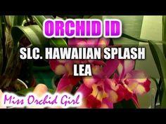Slc. (Cattleya) Hawaiian Splash Lea Orchid - Most colorful Cattleya in my collection - YouTube